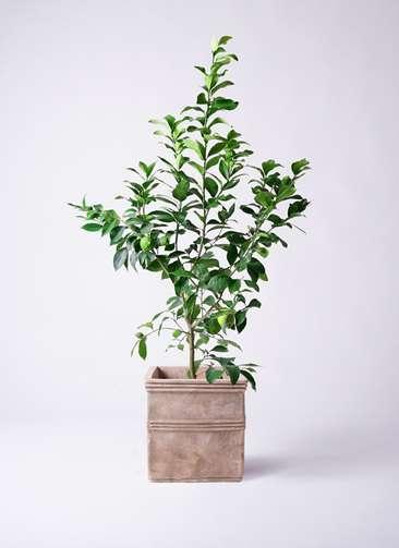 果樹 レモンの木 8号 リスボン テラアストラ カペラキュビ 赤茶色 付き
