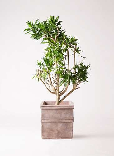 観葉植物 ドラセナ ソング オブ ジャマイカ 8号 テラアストラ カペラキュビ 赤茶色 付き