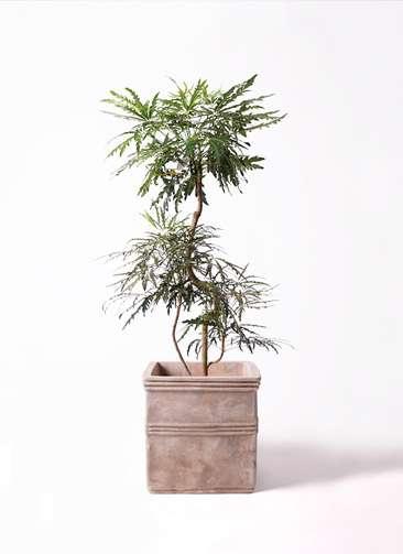 観葉植物 グリーンアラレア 曲り 8号 テラアストラ カペラキュビ 赤茶色 付き