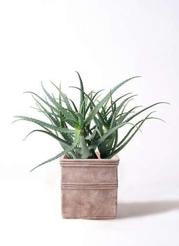 多肉植物 アロエ キダチ8号 テラアストラ カペラキュビ 赤茶色 付き