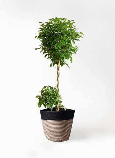 観葉植物 フィカス ベンジャミン 10号 リブバスケットNatural and Black 付き