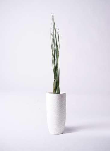 観葉植物 トクサ 6号 エコストーントールタイプ white 付き