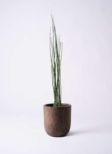 観葉植物 トクサ 6号 ビトロ ウーヌム コッパー釉 付き