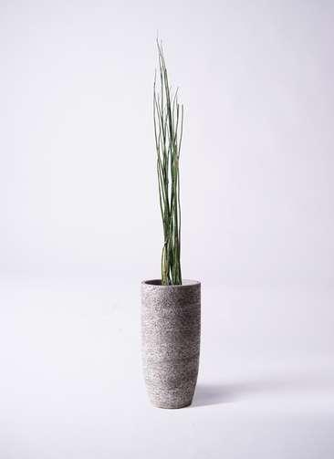 観葉植物 トクサ 6号 エコストーントールタイプ Gray 付き
