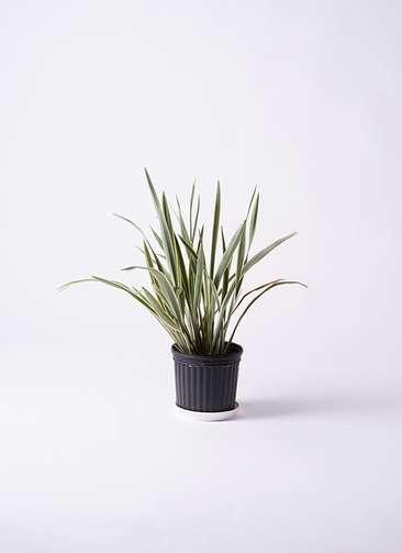 観葉植物 ニューサイラン 7号 プラスチック鉢