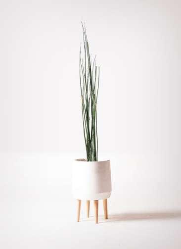 観葉植物 トクサ 6号 ファイバークレイ white 付き