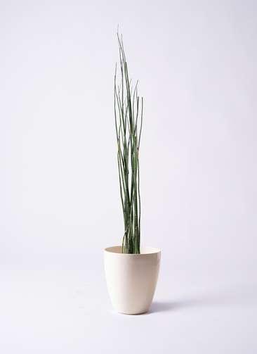 観葉植物 トクサ 6号 ラスターポット 付き