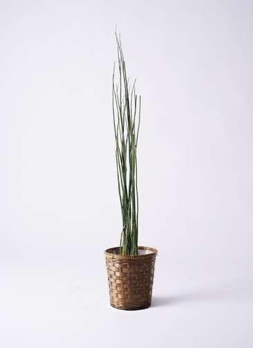 観葉植物 トクサ 6号 竹バスケット 付き