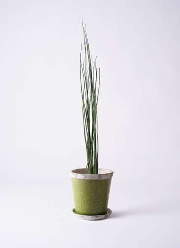 観葉植物 トクサ 6号 アンティークテラコッタGreen 付き