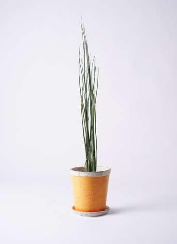 観葉植物 トクサ 6号 アンティークテラコッタOrange 付き
