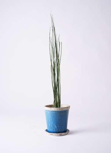 観葉植物 トクサ 6号 アンティークテラコッタBlue 付き
