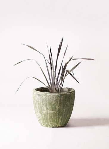 観葉植物 ニューサイラン 銅葉 7号 アビスソニアミドル 緑 付き