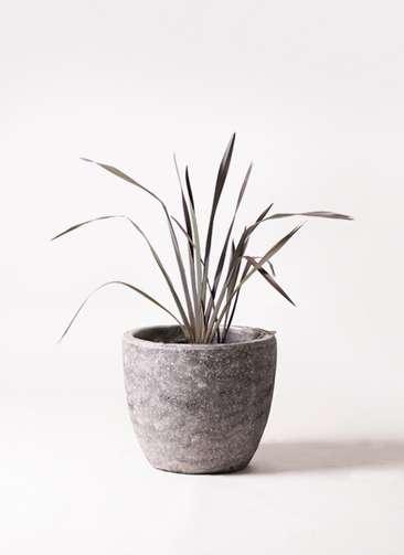観葉植物 ニューサイラン 銅葉 7号 アビスソニアミドル 灰 付き