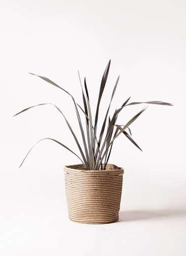 観葉植物 ニューサイラン 銅葉 7号 リブバスケットNatural 付き
