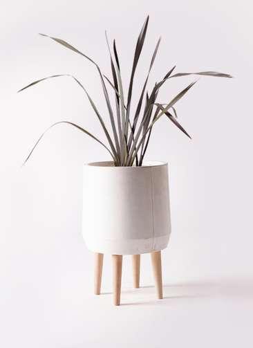 観葉植物 ニューサイラン 銅葉 7号 ファイバークレイ white 付き
