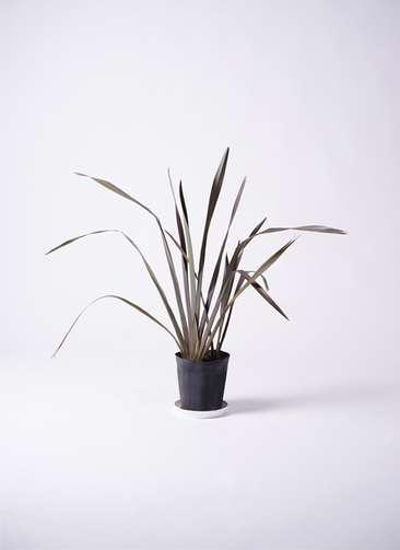 観葉植物 ニューサイラン 銅葉 7号 プラスチック鉢