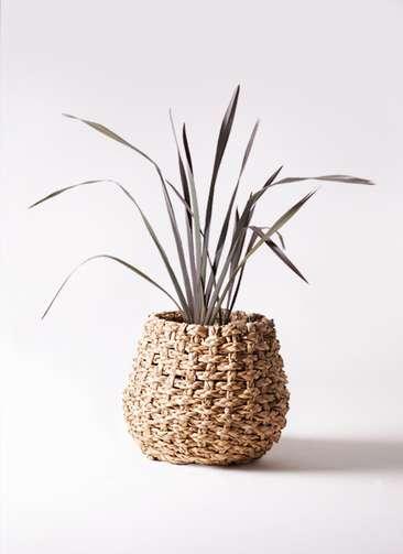 観葉植物 ニューサイラン 銅葉 7号 ラッシュバスケット Natural 付き
