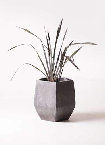 観葉植物 ニューサイラン 銅葉 7号 ファイバークレイ Gray 付き