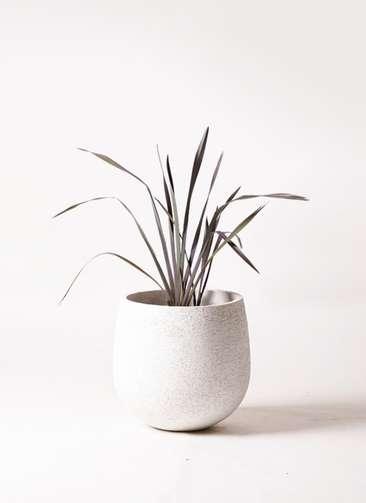 観葉植物 ニューサイラン 銅葉 7号 エコストーンwhite 付き