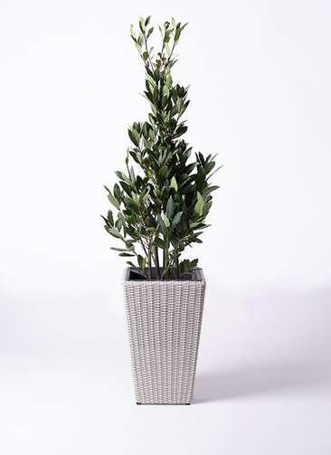 観葉植物 月桂樹 8号 ウィッカーポット スクエアロング OT 白 付き