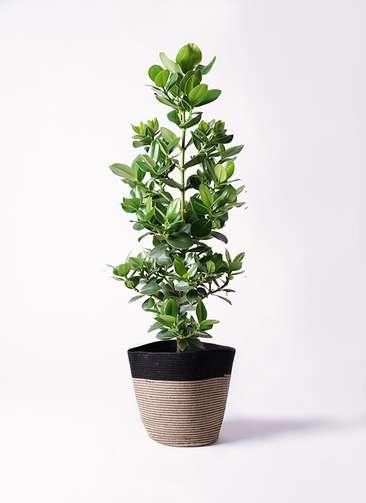 観葉植物 クルシア ロゼア プリンセス 8号 リブバスケットNatural and Black 付き