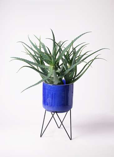 多肉植物 アロエ キダチ8号 ビトロ エンデカ 鉢カバースタンド付 ブルー 付き