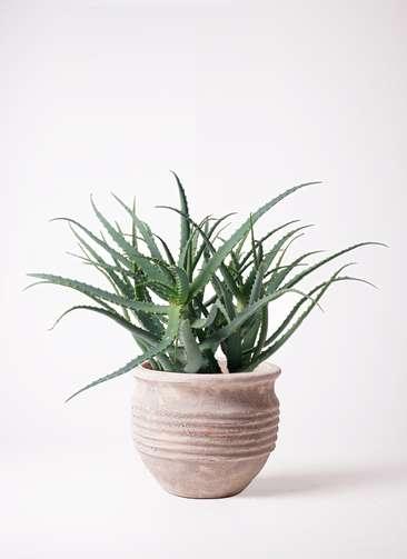 多肉植物 アロエ キダチ8号 テラアストラ リゲル 赤茶色 付き