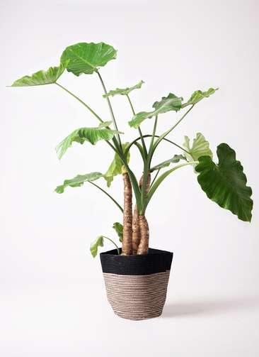 観葉植物 クワズイモ 10号 リブバスケットNatural and Black 付き