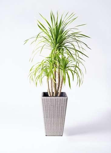 観葉植物 ドラセナ カンボジアーナ 8号 ウィッカーポット スクエアロング OT 白 付き