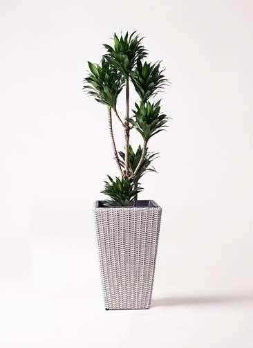 観葉植物 ドラセナ コンパクター 8号 ウィッカーポット スクエアロング OT 白 付き