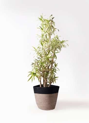 観葉植物 ドラセナ ソング オブ インディア 10号 リブバスケットNatural and Black 付き