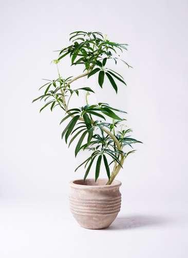 観葉植物 シェフレラ アンガスティフォリア 8号 曲り テラアストラ リゲル 赤茶色 付き