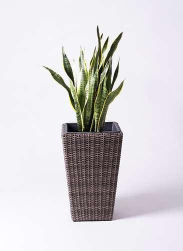 観葉植物 サンスベリア 8号 ウィッカーポット スクエアロング OT 茶 付き