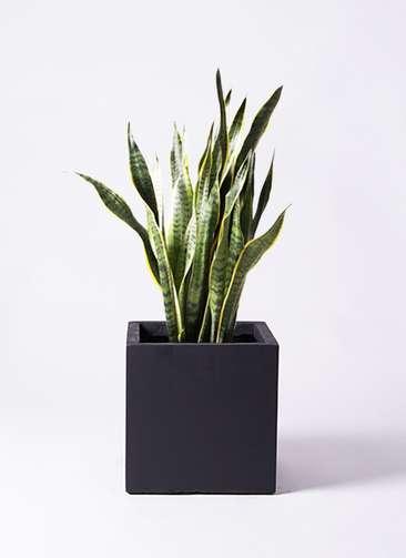 観葉植物 サンスベリア 8号 ベータ キューブプランター 黒 付き