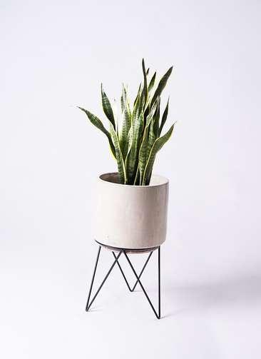 観葉植物 サンスベリア 8号 ビトロ エンデカ 鉢カバースタンド付 クリーム 付き