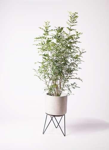 観葉植物 シマトネリコ 8号 ビトロ エンデカ 鉢カバースタンド付 クリーム 付き