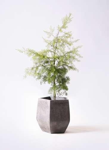 観葉植物 ティーツリー メラレウカ レボリューションゴールド 8号 ファイバークレイ Gray 付き