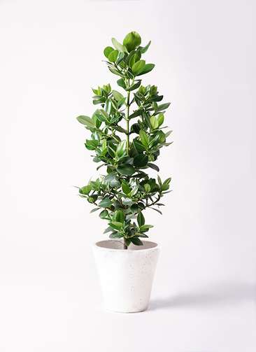 観葉植物 クルシア ロゼア プリンセス 8号 フォリオソリッド 白 付き