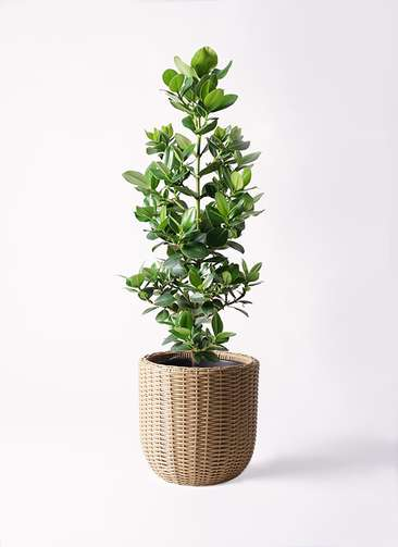 観葉植物 クルシア ロゼア プリンセス 8号 ウィッカーポットエッグ ベージュ 付き