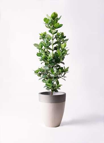 観葉植物 クルシア ロゼア プリンセス 8号 ファイバーストーンカプリ サンディホワイト 付き