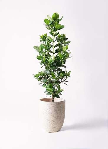 観葉植物 クルシア ロゼア プリンセス 8号 ビアスアルトエッグ 白 付き