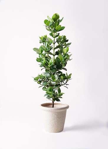 観葉植物 クルシア ロゼア プリンセス 8号 ビアスリムス 白 付き