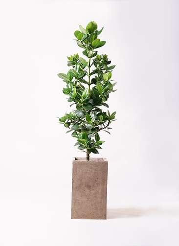 観葉植物 クルシア ロゼア プリンセス 8号 セドナロング グレイ 付き