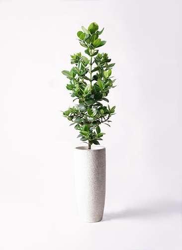 観葉植物 クルシア ロゼア プリンセス 8号 エコストーントールタイプ white 付き