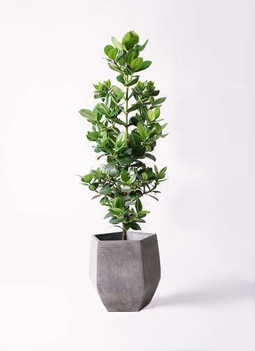 観葉植物 クルシア ロゼア プリンセス 8号 ファイバークレイ Gray 付き