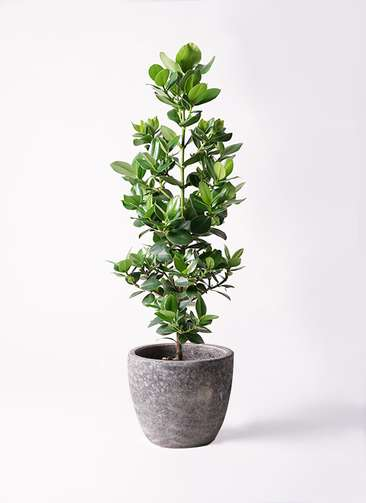 観葉植物 クルシア ロゼア プリンセス 8号 アビスソニアミドル 灰 付き