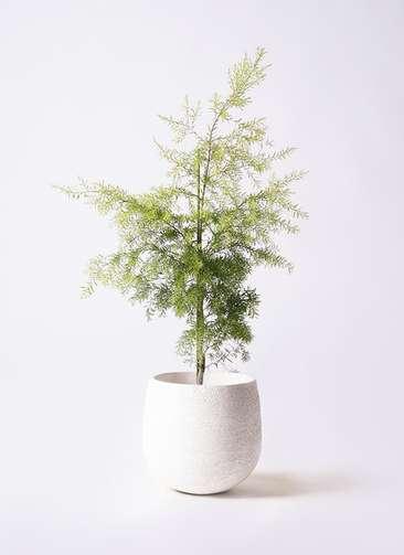 観葉植物 ティーツリー メラレウカ レボリューションゴールド 8号 エコストーンwhite 付き