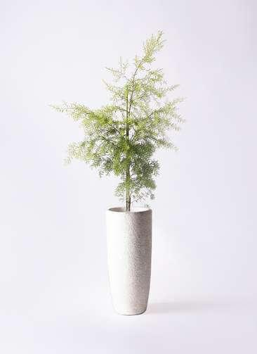 観葉植物 ティーツリー メラレウカ レボリューションゴールド 8号 エコストーントールタイプ white 付き