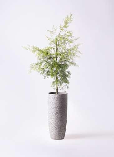 観葉植物 ティーツリー メラレウカ レボリューションゴールド 8号 エコストーントールタイプ Gray 付き