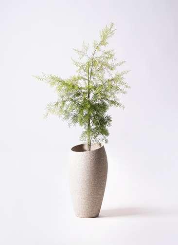 観葉植物 ティーツリー メラレウカ レボリューションゴールド 8号 エコストーントールタイプ Light Gray 付き